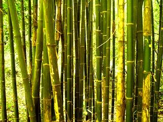 Chinese Bamboo Tree Grove